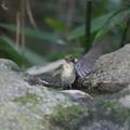 写真: 私の野鳥図鑑・160930キビタキ♀t