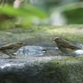 写真: 私の野鳥図鑑・161002キビタキ♀t(2/3)