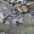 私の野鳥図鑑・161012キビタキ♀tの水浴び