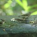 写真: 私の野鳥図鑑・170921キビタキ♀t