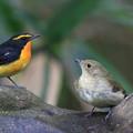 写真: 私の野鳥図鑑・151023・0A1A7035キビタキの雌雄