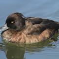 写真: 私の野鳥図鑑・100209キンクロハジロ♀