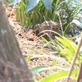 私の野鳥図鑑・100131ザリガニをとったクイナ