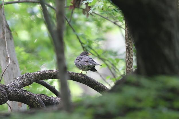 私の野鳥図鑑・140423クロツグミ♂