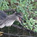 写真: 私の野鳥図鑑・160531カイツブリに足を攻撃されて怒るゴイサギ
