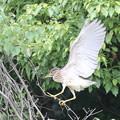 写真: 私の野鳥図鑑・170704-9ホシゴイ