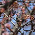 写真: 私の野鳥図鑑・120325-11蜜を吸うコゲラ