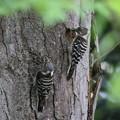 私の野鳥図鑑・160506雌雄で雛に餌を運ぶコゲラ