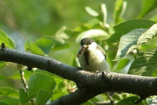 私の野鳥図鑑・070603-虫を捕ったシジュウカラの幼鳥