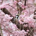 写真: 私の野鳥図鑑・100411シジュウカラとシダレザクラ2