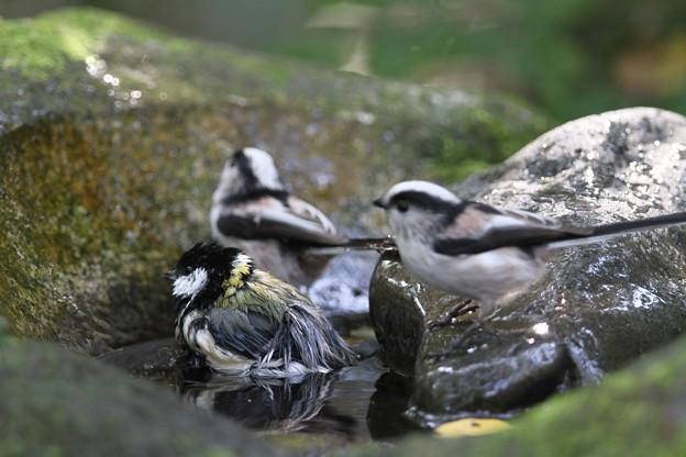 私の野鳥図鑑・111025シジュウカラとエナガ