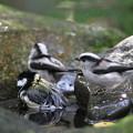 写真: 私の野鳥図鑑・111025シジュウカラとエナガ