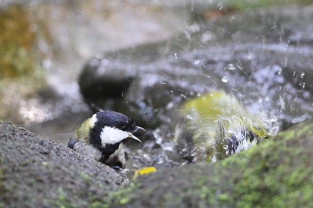 私の野鳥図鑑・111113-IMG_6922水浴びをしているメジロを威嚇するシジュウカラ