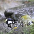 写真: 私の野鳥図鑑・111113-IMG_6922水浴びをしているメジロを威嚇するシジュウカラ