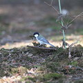 写真: 私の野鳥図鑑・120326シジュウカラの巣材集め