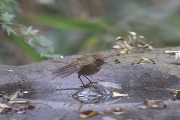 171120-2ルリビタキ若鳥