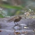 写真: 171120-2ルリビタキ若鳥