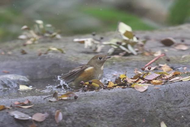 写真: 171120-4ルリビタキ若鳥の水浴び