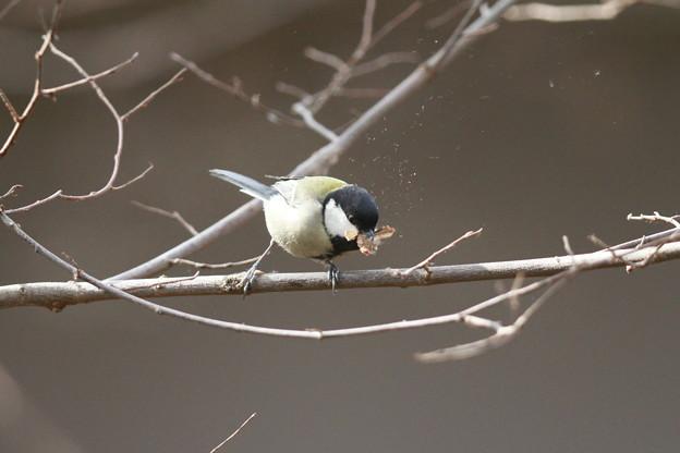 私の野鳥図鑑・130202シジュウカラの食事