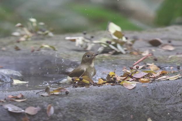 171120-5ルリビタキ若鳥の水浴び