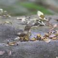 写真: 171120-5ルリビタキ若鳥の水浴び
