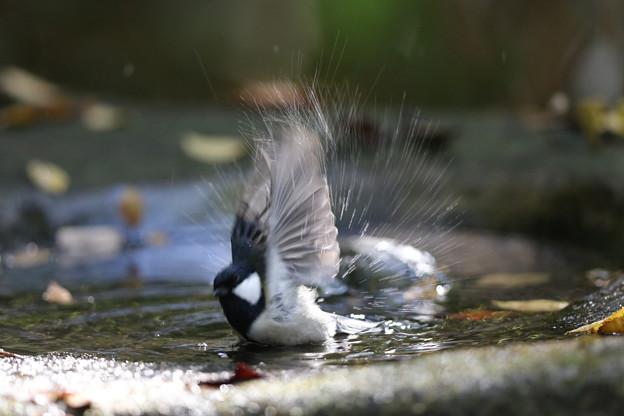 私の野鳥図鑑・151116水浴びをするシジュウカラ