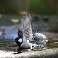 写真: 私の野鳥図鑑・151116水浴びをするシジュウカラ