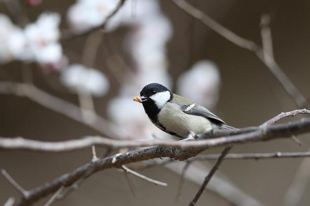私の野鳥図鑑・160304何かを咥えているシジュウカラ
