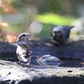 写真: 171206-4シメとヒヨドリ