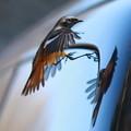 写真: 私の野鳥図鑑・131124自動車に映った自分を攻撃するジョウビタキ♂