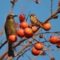 写真: 私の野鳥図鑑・121225-IMG_6610柿を食べるヒヨドリとスズメ