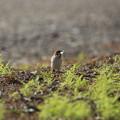 写真: 私の野鳥図鑑・130429巣材を咥えたスズメ