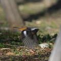写真: 180112-3やっと会えたジョウビタキ♂