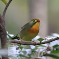 写真: 私の野鳥図鑑(蔵出し)・091121ソウシチョウ