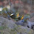 写真: 私の野鳥図鑑(蔵出し)・091218-ソウシチョウ