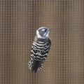 写真: 180114-2コゲラの鳥舎の金網に張り付く野生のコゲラ