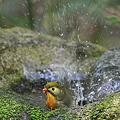 Photos: 110425-3水浴び