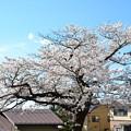 写真: 飯盛山の桜