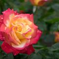 神代植物公園 薔薇2