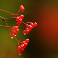 写真: 赤い実