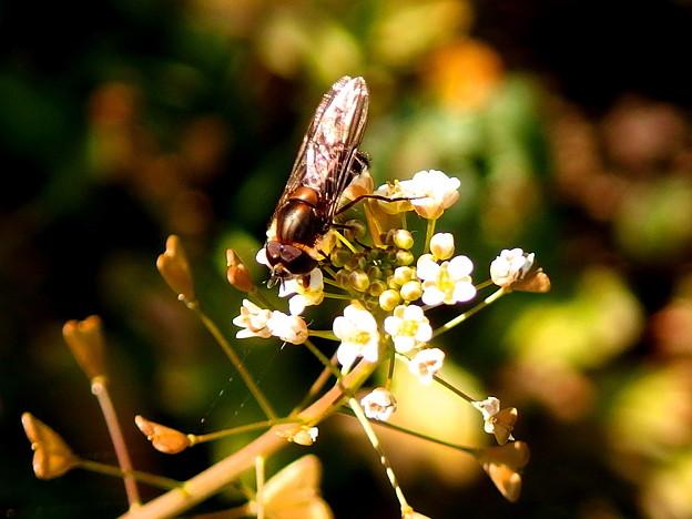 ナズナ(ぺんぺん草)と昆虫。