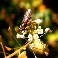 写真: ナズナ(ぺんぺん草)と昆虫。