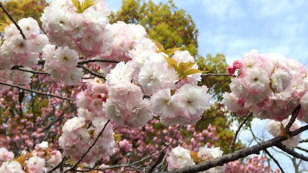 公園の里桜・2