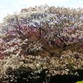 写真: 公園の山桜