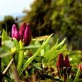 写真: 出番を持つ,開花前の緊張。