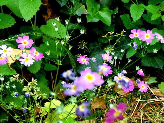 草もサクラを咲きにけり。