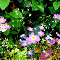 写真: 草もサクラを咲きにけり。