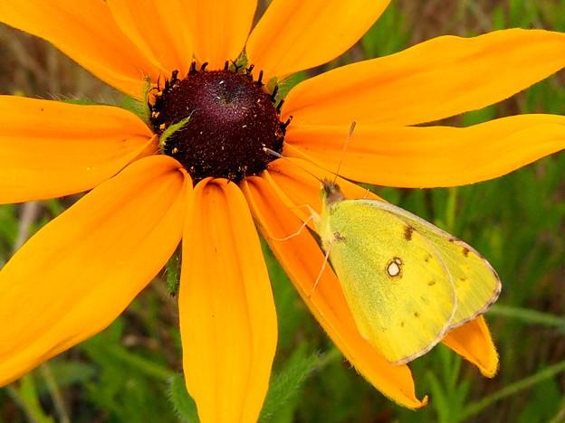 蝶のアプローチ(ルドベキアの花)