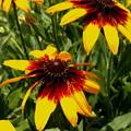 お育ちの良い、ルドベキアの花
