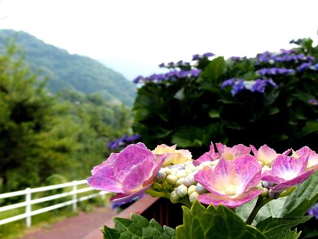 紫陽花の散歩道・1